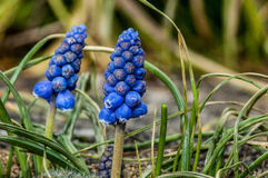 Plant portrait grape hyacinth Stock Photos