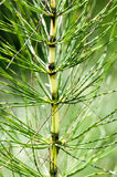 Plant portrait great  horsetail Royalty Free Stock Photo