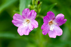 Plant portrait great willowherb Stock Photography