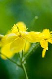 Plant portrait greater celandine Royalty Free Stock Photos