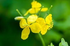 Plant portrait greater celandine Stock Photo