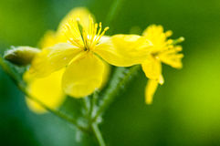 Plant portrait greater celandine Royalty Free Stock Image
