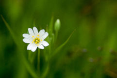 Plant portrait greater stitchwort Royalty Free Stock Photos