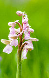 Plant portrait green-winged orchid Stock Photos