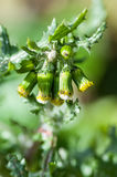 Plant portrait groundsel Royalty Free Stock Photos