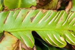 Plant portrait hart's tongue Stock Image