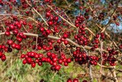 Plant portrait hawthorn berries Stock Images