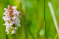 Plant portrait heath spotted orchid Royalty Free Stock Images