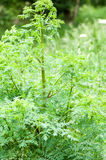 Plant portrait hemlock Stock Images