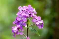Plant portrait honesty. (Lunaria annua) flowering on waste ground stock image