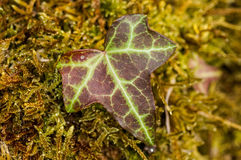 Plant portrait ivy leaf on moss Royalty Free Stock Image