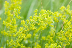 Plant portrait lady's bedstraw Stock Photos