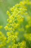 Plant portrait lady's bedstraw Stock Photography