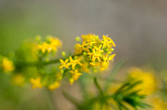 Plant portrait lady's bedstraw Royalty Free Stock Photos