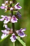 Plant portrait marsh woundwort Royalty Free Stock Photos