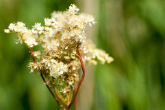 Plant portrait meadowsweet Royalty Free Stock Photo