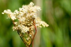 Plant portrait meadowsweet. (Filipendula ulmaria) flowering in damp grassland Royalty Free Stock Photo