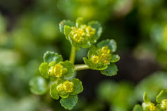 Plant portrait opposite-leaved golden saxifrage Stock Photos