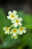 Plant portrait oxlip Stock Photos