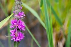 Plant portrait purple-loosestrife Stock Photo