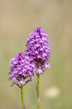 Plant portrait pyramidal orchid Royalty Free Stock Photography