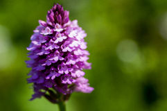Plant portrait pyramidal orchid Royalty Free Stock Images