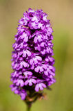 Plant portrait pyramidal orchid Royalty Free Stock Image