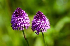 Plant portrait pyramidal orchid Stock Photos