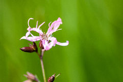 Plant portrait - ragged robin Stock Photography