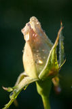 Plant portrait rose bud Stock Photos