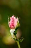 Plant portrait rose bud Stock Photography