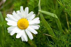 Plant portrait scentless mayweed Stock Image