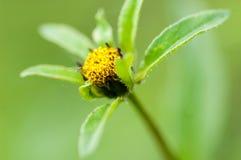 Plant portrait trifid bur-marigold Stock Images