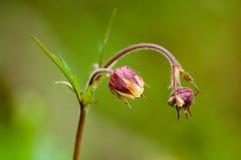 Plant portrait water avens Stock Images
