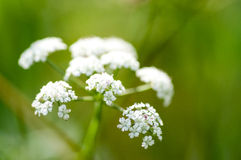 Plant portrait water dropwort. (Oenanthe) flowering on athe margins of a water course Royalty Free Stock Photo