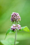 Plant portrait water mint Stock Images