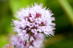 Plant portrait water mint Royalty Free Stock Photography