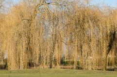 Plant portrait - weeping willows Stock Photo