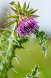 Plant Portrait Welted Thistle Royalty Free Stock Image