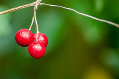 Plant portrait white bryony berries Stock Photos