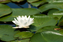 Plant portrait white water-lily Stock Images