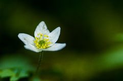 Plant portrait wood anemone Royalty Free Stock Photos