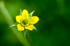 Plant portrait wood avens Stock Image