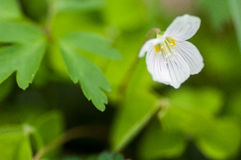 Plant portrait wood sorrel Royalty Free Stock Images
