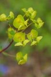 Plant portrait wood spurge Royalty Free Stock Image