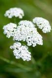 Plant portrait yarrow flowers Stock Image