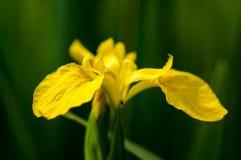 Plant portrait yellow flag Stock Photos