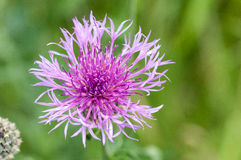 Plant portraits greater knapweed Royalty Free Stock Photo