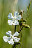 Plant portraitwhite campion Royalty Free Stock Photo