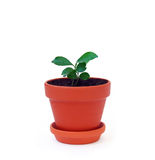 Plant in a pot Royalty Free Stock Image